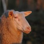 Schapen en geiten